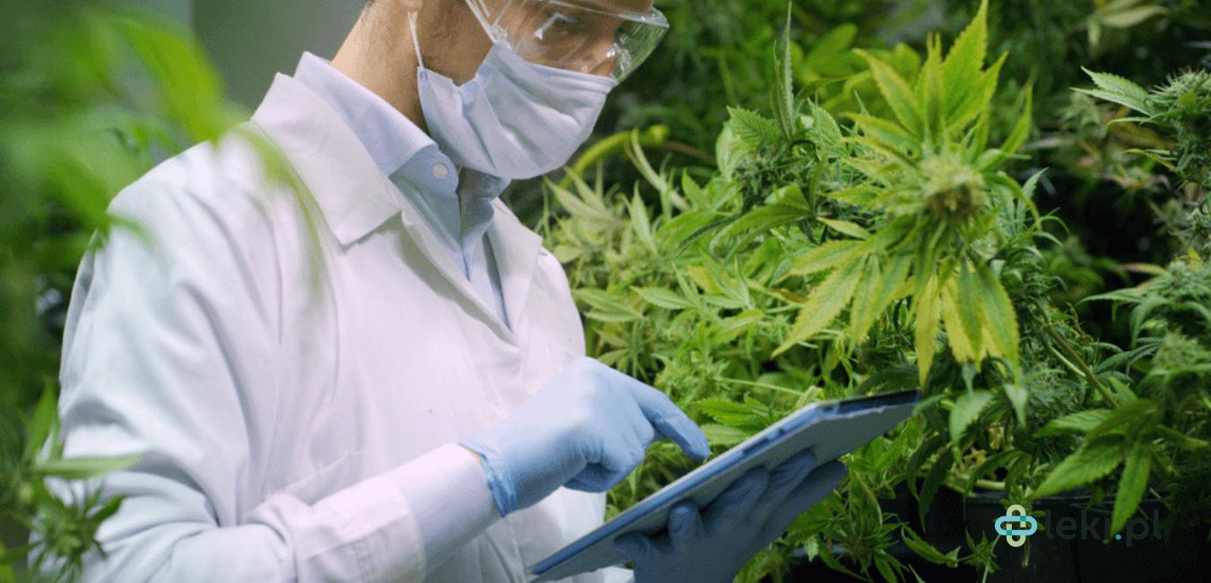 Warunki uprawy konopi, hodowanych w celu wytworzenia medycznej marihuany są ściśle kontrolowane. (fot. Shutterstock)