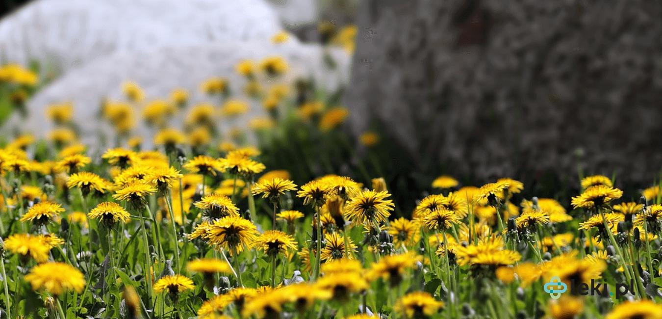 Mniszek lekarski (Taraxacum officinale), bardziej znany jako mlecz, czy dmuchawiec to popularny chwast, a zarazem cenna roślina lecznicza.